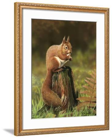 Red Squirrel 5753-Nigel Artingstall-Framed Giclee Print