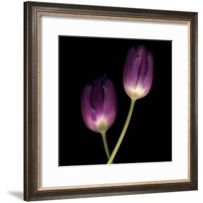 Purple Tulips on Black 02-Tom Quartermaine-Framed Giclee Print