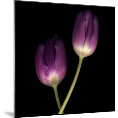 Purple Tulips on Black 02-Tom Quartermaine-Mounted Giclee Print