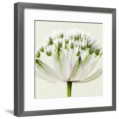 Interesting Astrantia Flower-Tom Quartermaine-Framed Giclee Print