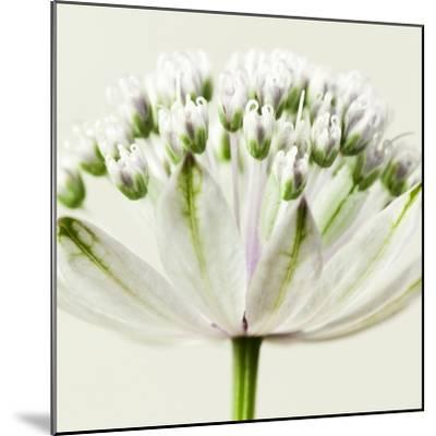 Interesting Astrantia Flower-Tom Quartermaine-Mounted Giclee Print