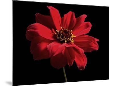 Red Flower on Black 01-Tom Quartermaine-Mounted Giclee Print