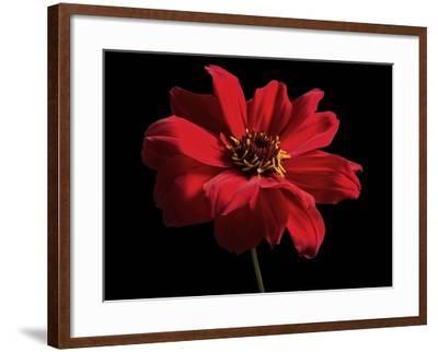 Red Flower on Black 01-Tom Quartermaine-Framed Giclee Print