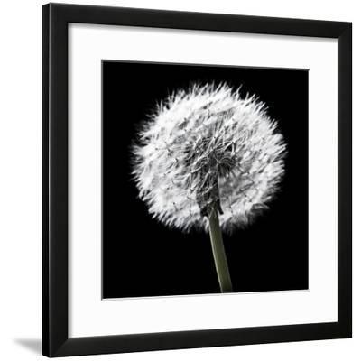 BW Dandelion on Black 02-Tom Quartermaine-Framed Giclee Print