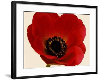 Red Poppy 01-Tom Quartermaine-Framed Giclee Print