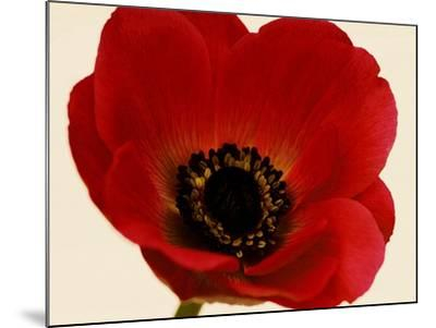 Red Poppy 01-Tom Quartermaine-Mounted Giclee Print