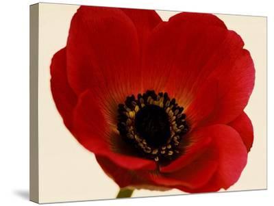 Red Poppy 01-Tom Quartermaine-Stretched Canvas Print