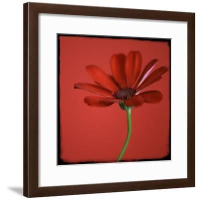 Red Gerbera on Red 07-Tom Quartermaine-Framed Giclee Print