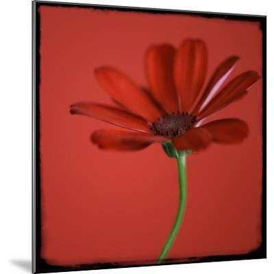 Red Gerbera on Red 07-Tom Quartermaine-Mounted Giclee Print