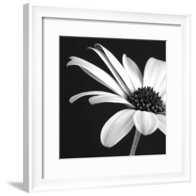 BW Osteospurmum 02-Tom Quartermaine-Framed Giclee Print