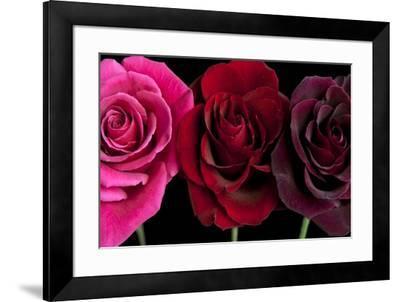 Row Of Roses On Black-Tom Quartermaine-Framed Giclee Print