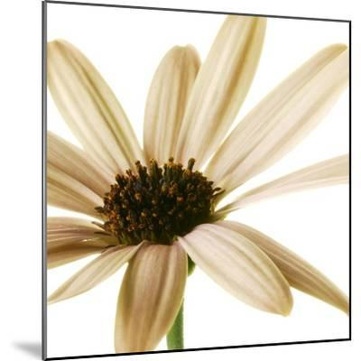 Osteospurmum  on White 01-Tom Quartermaine-Mounted Giclee Print