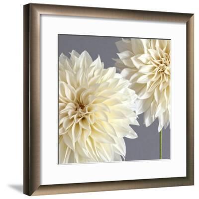 2 Cream Dahlias on Gray-Tom Quartermaine-Framed Giclee Print