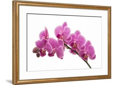 Pink Orchid on White 01-Tom Quartermaine-Framed Giclee Print