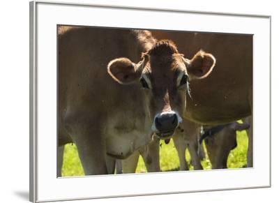 Jersey Cow-Brenda Petrella Photography LLC-Framed Giclee Print