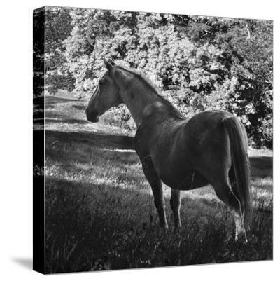 White Mare-Brenda Petrella Photography LLC-Stretched Canvas Print