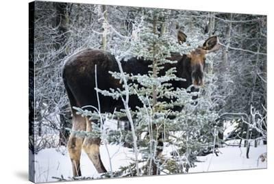 Young Bull Moose-Brenda Petrella Photography LLC-Stretched Canvas Print