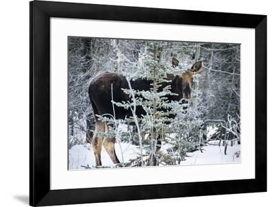Young Bull Moose-Brenda Petrella Photography LLC-Framed Giclee Print