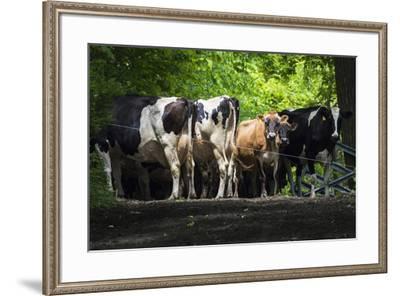 Dairy Cows-Brenda Petrella Photography LLC-Framed Giclee Print