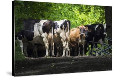 Dairy Cows-Brenda Petrella Photography LLC-Stretched Canvas Print