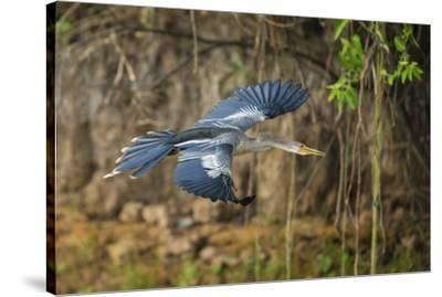 Brazil. An anhinga flying along a river bank in the Pantanal.-Ralph H^ Bendjebar-Stretched Canvas Print