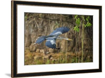 Brazil. An anhinga flying along a river bank in the Pantanal.-Ralph H^ Bendjebar-Framed Premium Photographic Print