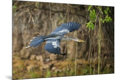 Brazil. An anhinga flying along a river bank in the Pantanal.-Ralph H^ Bendjebar-Mounted Premium Photographic Print
