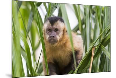 Brazil, Mato Grosso do Sul, Bonito. Portrait of a brown capuchin monkey, Cebus apella.-Ellen Goff-Mounted Premium Photographic Print