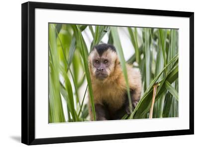 Brazil, Mato Grosso do Sul, Bonito. Portrait of a brown capuchin monkey, Cebus apella.-Ellen Goff-Framed Premium Photographic Print