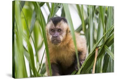 Brazil, Mato Grosso do Sul, Bonito. Portrait of a brown capuchin monkey, Cebus apella.-Ellen Goff-Stretched Canvas Print