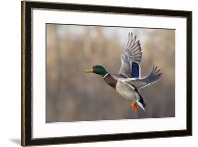 Mallard Drake flying-Ken Archer-Framed Premium Photographic Print