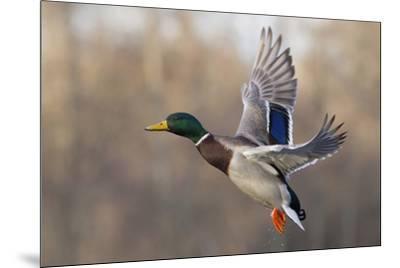 Mallard Drake flying-Ken Archer-Mounted Premium Photographic Print