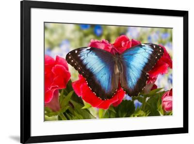 Tropical Butterfly the Blue Morpho-Darrell Gulin-Framed Premium Photographic Print