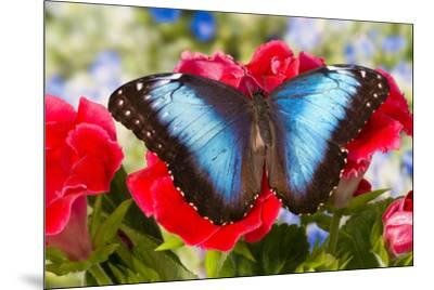 Tropical Butterfly the Blue Morpho-Darrell Gulin-Mounted Premium Photographic Print
