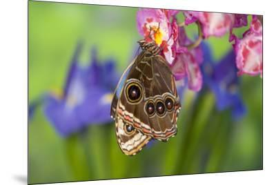 Tropical Butterfly the Blue Morpho wings closed on orchid-Darrell Gulin-Mounted Premium Photographic Print