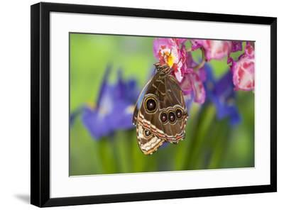 Tropical Butterfly the Blue Morpho wings closed on orchid-Darrell Gulin-Framed Premium Photographic Print