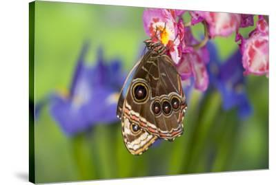 Tropical Butterfly the Blue Morpho wings closed on orchid-Darrell Gulin-Stretched Canvas Print