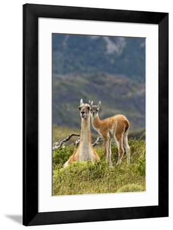 Guanaco and baby, Andes Mountain, Torres del Paine National Park, Chile. Patagonia-Adam Jones-Framed Premium Photographic Print