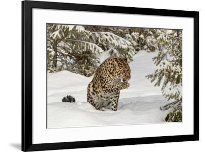 Amur Leopard in winter.-Adam Jones-Framed Premium Photographic Print