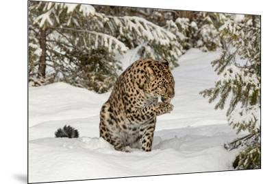 Amur Leopard in winter.-Adam Jones-Mounted Premium Photographic Print