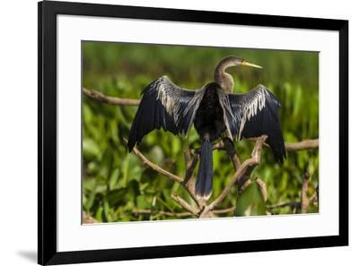Brazil. An anhinga drying its wings in the sun, found in the Pantanal.-Ralph H^ Bendjebar-Framed Premium Photographic Print