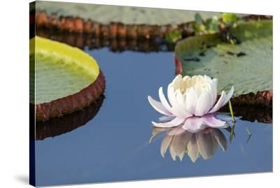 Brazil, The Pantanal, flower of the giant lily pad.-Ellen Goff-Stretched Canvas Print