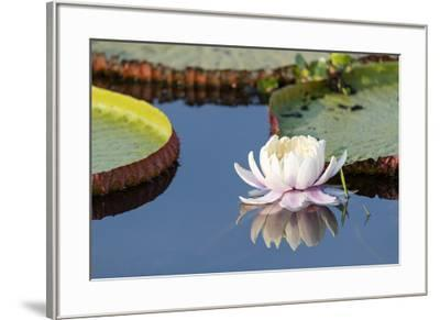 Brazil, The Pantanal, flower of the giant lily pad.-Ellen Goff-Framed Premium Photographic Print
