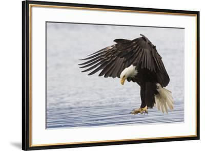 Bald Eagle Alighting-Ken Archer-Framed Premium Photographic Print