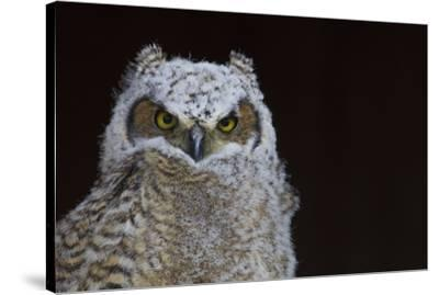 Great-horned Owl, Fledgling-Ken Archer-Stretched Canvas Print
