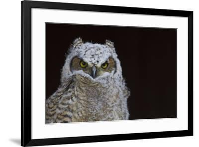 Great-horned Owl, Fledgling-Ken Archer-Framed Premium Photographic Print
