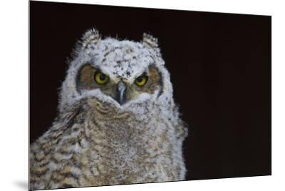 Great-horned Owl, Fledgling-Ken Archer-Mounted Premium Photographic Print