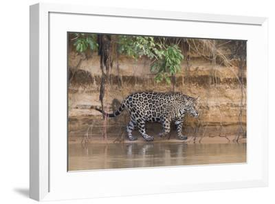 Brazil, The Pantanal, Rio Cuiaba, A jaguar walks along the banks of the river looking for prey.-Ellen Goff-Framed Premium Photographic Print