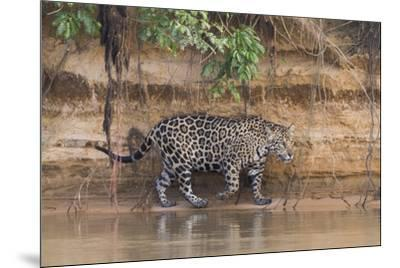 Brazil, The Pantanal, Rio Cuiaba, A jaguar walks along the banks of the river looking for prey.-Ellen Goff-Mounted Premium Photographic Print