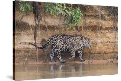 Brazil, The Pantanal, Rio Cuiaba, A jaguar walks along the banks of the river looking for prey.-Ellen Goff-Stretched Canvas Print